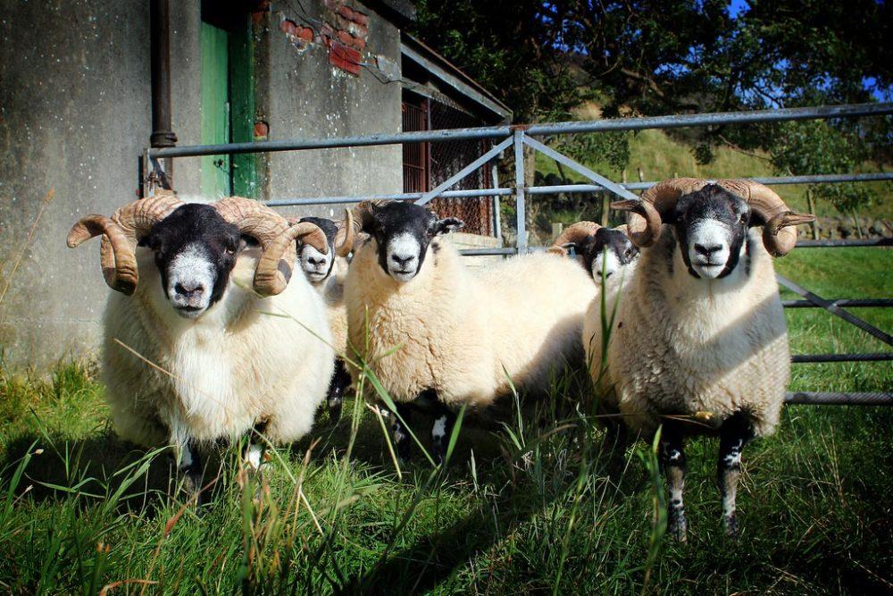 Gavinburn Sheep
